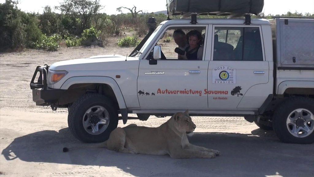 Lionne couchée contre un 4x4 de touristes effrayés pendant le raid 4x4 Okawango Bostwana, novembre 2020